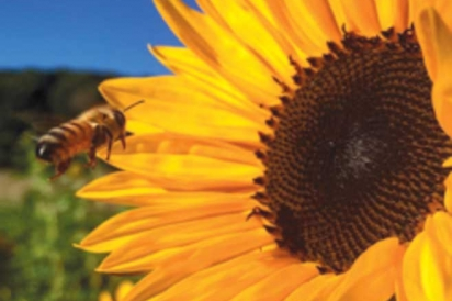A bee approaches the sunflower